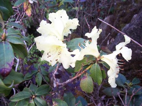 Hoa đỗ quyên màu vàng