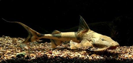 Cá chiên, một loài cá da trơn phân bố chủ yếu tại các dòng sông ở miền núi phía bắc Việt Na