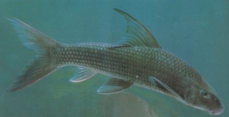 Ngày nay, do bị đánh bắt quá mức nên cá anh vũ gần như đã tuyệt chủng ngoài tự nhiên.