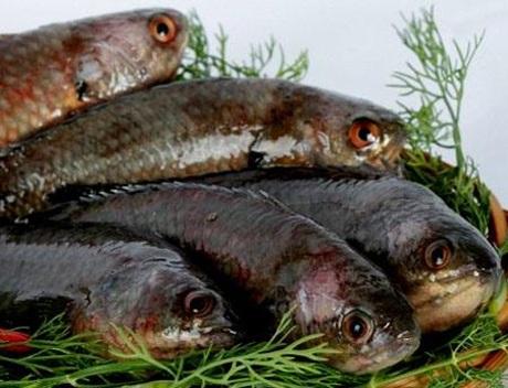 Cá tràu là loài cá thuộc họ cá quả, có khá nhiều ở Việt