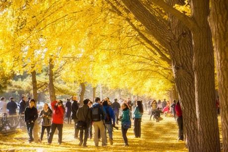 Cả một dọc đường như được nhuộm vàng bởi tán lá cây bạch quả chuyển màu trong tiết trời Thu.