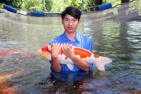 Đây là những chú cá Koi được chọn lựa kỹ càng để nhân giống