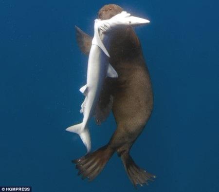 """Con cá mập xanh bị sư tử biển """"xơi tái"""""""