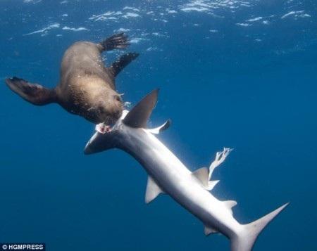 Với trọng lượng lớn hơn cá mập, sư tử biển Nam Phi dễ dàng tấn công đối phương