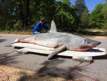 Con cá mập nặng tới 365kg, dài hơn 3m