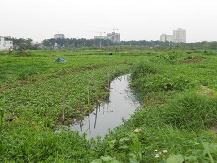 Cánh đồng rau xanh ngát được chăm sóc bằng nước thải