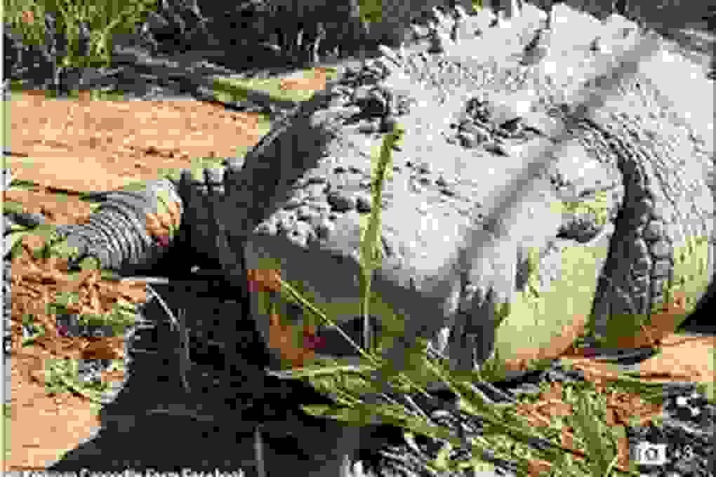 Cá sấu gần 100 tuổi, nặng hơn một tấn đã chết
