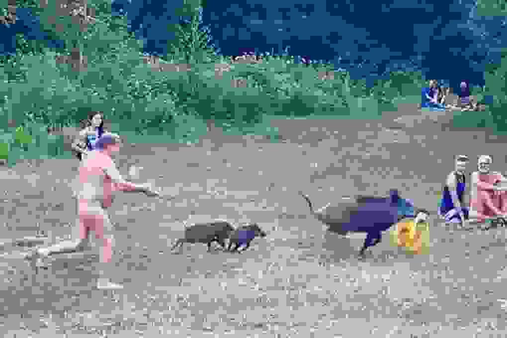 """Du khách khoả thân đuổi theo chú lợn """"đòi lại"""" đồ"""