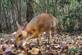 Loài cheo cheo tưởng tuyệt chủng 30 năm bất ngờ xuất hiện tại Việt Nam