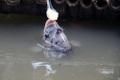 Con cá lạ nhất Việt Nam, ăn cháo bằng thìa, có chân quý hiếm