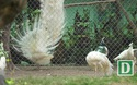 Nhà giàu tìm mua chim công giá hàng chục triệu đồng chơi Tết