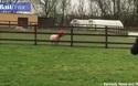Video cừu mắc kẹt đầu vào ống nhựa cho gia cầm ăn ở Anh