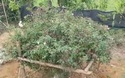 Cây hoa hồng phấn cổ tán rộng chục mét ở Ninh Bình