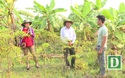 Xen canh cây dược liệu Đinh Lăng mang lại hiệu quả kinh tế cao