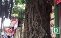 """Kỳ lạ cây đa trăm tuổi với bộ rễ """"khổng lồ"""", chuyển màu trắng mỗi khi trời mưa ở Hà Nội"""