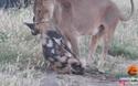 Chó hoang nằm im bất động giả chết thoát hàm sư tử