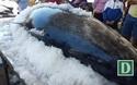 """Ngư dân Phú Yên câu được 2 con cá ngừ vây xanh """"siêu khủng"""" nặng gần 600 kg"""