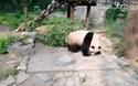 Phẫn nộ cảnh du khách Trung Quốc ném đá bắt gấu trúc đứng dậy