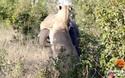 Gay cấn cuộc chiến sống còn giữa sư tử và voi