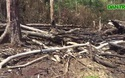 Những cánh rừng trên địa bàn Gia Lai bị lấn chiếm, khai thác gỗ trái phép