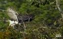 Đại bàng Harpy săn mồi