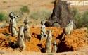 """Kẻ lừa bịp đại tài của thế giới động vật: xem chim Drongo """"nẫng tay trên"""" của cả đàn cầy Meerkats"""