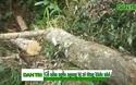 Tan hoang cánh rừng cổ thụ tại huyện Mang Yang (Gia Lai)