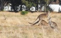Cuộc chiến của Kangaroo kịch tính không khác gì một trận đấu Boxing thực sự