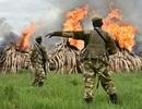 Kenya tiêu hủy lượng ngà voi phi pháp lớn nhất thế giới