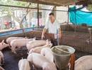 Chăn nuôi heo: Giỏi tính, lời to