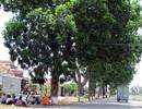 """Hàng chục cây xanh có giá trị lịch sử đã thoát """"án tử"""""""