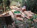 Vụ phá rừng Kẻ Gỗ: Tạm đình chỉ công tác 2 trạm trưởng