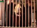 Những hình ảnh ám ảnh tại lãnh địa nuôi gấu lớn nhất miền Bắc