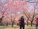 Trẩy hội anh đào mùa xuân