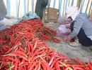 1 kg ớt tươi đắt hơn 1 kg thịt heo