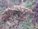 Thêm 4 quần thể cây rừng Hoàng Liên thành Cây di sản Việt Nam