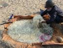 """Cánh đồng """"khủng"""" ươm giá sạch bên bờ Trà Khúc"""