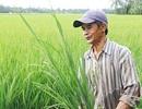 Bi kịch nhiều ruộng vẫn nghèo: Trồng lúa thu nhập 25.000 đồng/ngày