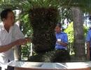 Cụ già 103 tuổi tặng cây vạn tuế trên 100 tuổi cho bác Tôn