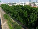 Hình ảnh cuối cùng về hàng cây cổ thụ tuyệt đẹp ở Hà Nội sắp bị đốn hạ