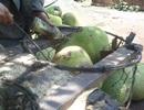 Trái cây đẹp nhờ hóa chất