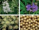 Những thảo dược giàu Estrogen cho phái đẹp