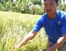 """Nông dân """"trắng tay"""" vì trồng lúa chỉ thu mỗi rơm!"""