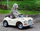 Chó lái xe ô tô điệu nghệ