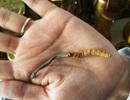 """Đông trùng hạ thảo: Biệt dược đắt hơn vàng hay chỉ là """"cú lừa thế kỷ""""?"""