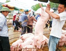 """Ồ ạt xuất khẩu lợn sang Trung Quốc: Coi chừng """"dội biên"""" như dưa hấu"""