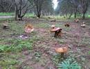 Đổ xô xem vườn nấm khổng lồ ở Huế