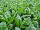 """Top 10 loại rau """"lớn nhanh như thổi"""" cho người tập tành làm vườn"""