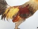 Lạ lùng loài gà có chân chi chít vảy rồng ở Việt Nam