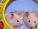 Loài chuột kiểng khiến giới trẻ Thủ đô thích mê đẹp cỡ nào?